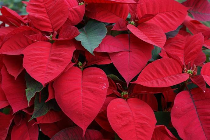 Avets, ponsèties i tions per Nadal